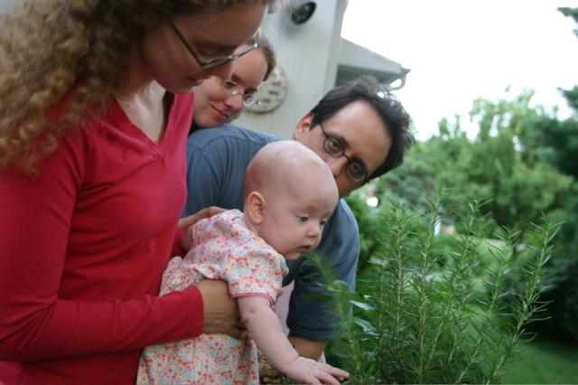rosemary grows