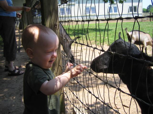 Feeding a Goat 2